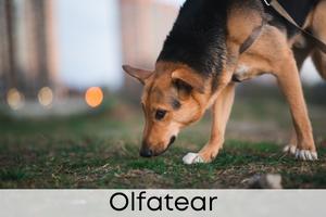 Olfatear
